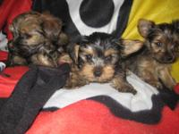 I have 3 Cute girls and one boy yorkie puppies ready to