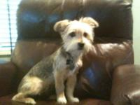 Very cute, lovable and smart 7 1/2 pound Yorkie named