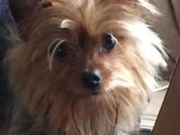 Sugary food, energetic, loving male Yorkie.