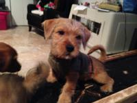 Maltese Mix Pets And Animals For Sale In The Usa Puppy And Kitten