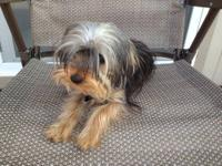 I'm putting up for adoption two Yorkshire Terrier