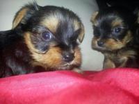 I have 2 beautifuls yorkies puppies, 1 male and 1