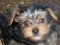 Cute, cuddly, smart, athletic Yorkshire Terrier puppies