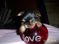 Cuteness Alert! Yorkie young puppies for adoption. They