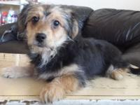 1 stunning male Yorkshire Terrier mix puppy is trying