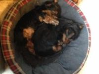 We have 3 male Yorkshire Terrier young puppies for