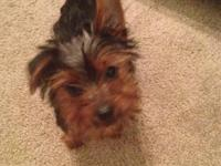 4 month old pure breed yorkshire terrier male puppy. He