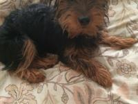 Hi I have a male Yorkie Mix born on 11-12-13. I have