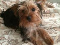 Hello I have a female Yorkie born on 11-15-13. She is 7