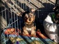 These little Yorkie Boys are adorable, healthy, sweet,