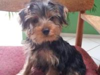 I have a 3 month old yorkie, very sweet and playful,