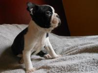 (Boston Oakes) AKC Boston Terrier Puppies, We breed our