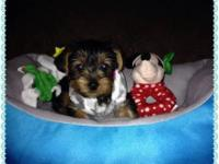 Registered Male And Female AKC Yorkshire Terrier Puppy