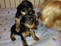 We have three tiny female yorkies for adoption. They