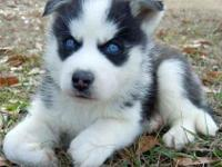 Animal Type: Dogs Breed: Siberian Husky We have two