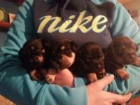 I have four puppies they will be ready on april 8th.