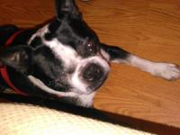 Simon is a six year old Boston Terrier whom I need to