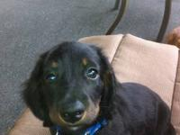 We have a cute little long hair dachshund puppy black