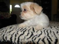 cute Shihtzu Chihuahua puppy that is 10 weeks old. Both