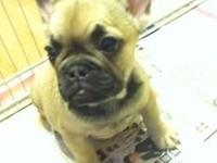 I have a beautiful fawn French bulldog puppy her DNA is