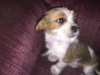 Male red and white medium haired Shih Tzu/Dachshund