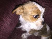 Adorable little male red and white Shih Tzu/Doxie