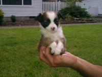 Have 4 male Purebread Long Haired Chihuahuas born on