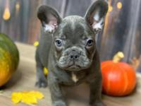 Cute Male/Females French Bulldog puppies available now,
