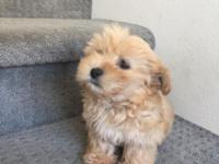 Cute creamy Maltipoo Puppy ready to her forever home.