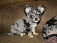 Zeus is an adorable longcoat apple head black merle