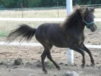 "Very nice AMHA filly, stands 31"", very fine, elegant"