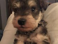 We have one male Mini Schnauzer for sale. Salt and