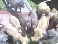 Adorable pit bull puppies. Mom and dad on site 13 of