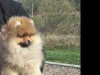 Hi, I'm selling my 4 month old pomeranian She's a fun