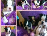 cute pure bred Boston terrier puppies (miami fl) We are