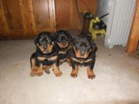 Pure breed Rottweiler puppies have had there dew claws