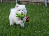 Adorable Home Raised Samoyed Puppies for sale, Puppies