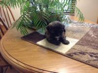 Beautiful Shih poo puppies. They were 6 weeks old on