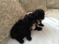 Shih poo young puppies. Mommy is a purebred Shih tzu