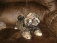 I have 4 Shih Tzu puppies looking for their forever