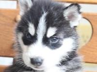 Cute Siberian Husky puppies with blue eyes if