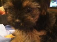 Priceless Registered Yorkie-Poo Puppies. We Have 2