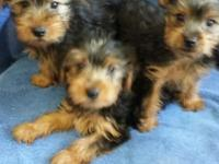 I have 2 male pups 12 weeks old, 1 male adult Parti 1