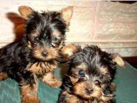 We have registered Yorkie puppies available. They will