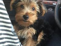 Cute Yorkie pup (15 Weeks) for sale. My partner and I