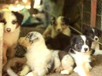 Adorable smart little puppies ready for your home or