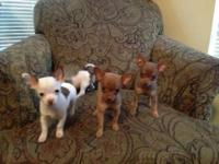 I have 4 toy chihuahua puppies for sale. They are the