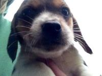 Darling tri-color beagle puppies. I have 2 ladies. They