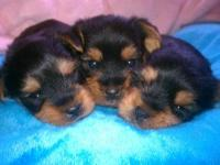 My babies are beautiful purebred yorkie sweeties!