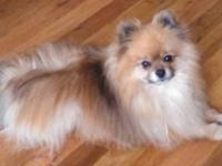 MALE POMERANIAN FOR SALE WITH FULL REGISTRATION..SABLE,